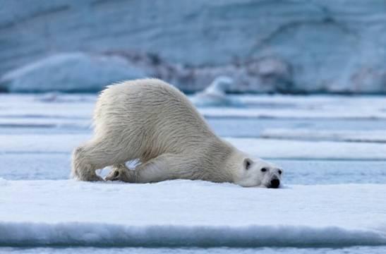 北极熊将在40年内灭绝,拯救猴子的不是而是,超人ta怎么用太空泥捏世界图片